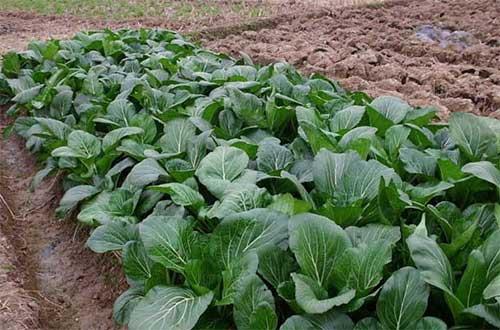 大白菜什么时候播种最好?大白菜种植时间