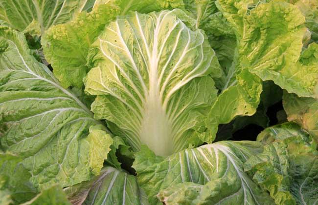大白菜种植