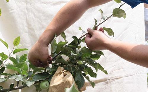 苹果树什么时间摘心好,苹果树怎样摘心