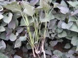 紫薯种苗价格是多少?紫薯种苗怎么种植