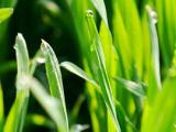 小麦的种植方法详细的步骤 小麦的种植技术介绍