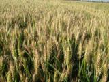 小麦赤霉病有哪些症状 小麦赤霉病要怎样防治