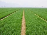 春小麦和冬小麦有什么区别 播种与收割期分别是什么时候