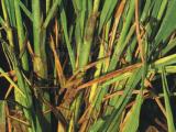水稻纹枯病会在什么发生 水稻纹枯