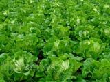 大白菜什么时候播种最好 大白菜种