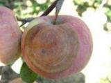 苹果腐烂病是什么原因造成的 苹果