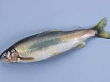 感冒能吃海鱼吗?孕妇能吃海鱼吗?